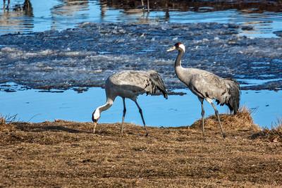 Common Crane ~ Hornborgasjön