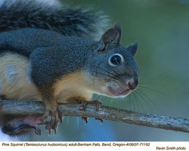 PineSquirrelA71182.jpg