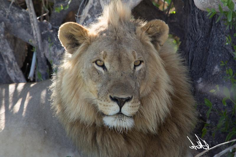 Lions Etosha-S-7.jpg