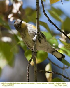 Yellow-rumped Warbler Audubon's F76953.jpg
