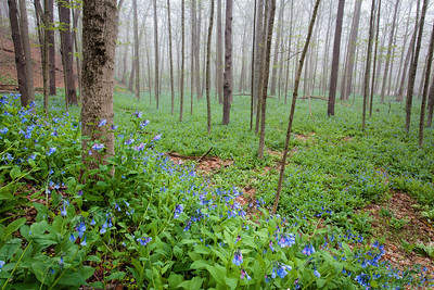 Furnace Run Bluebells - May 11, 2014