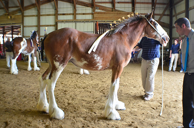 567 Mare 1-2 Clydesdale