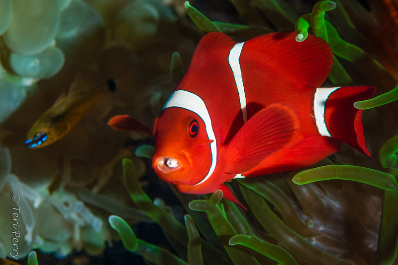 FISH - anemone fish with parasite_DSC9929-Edit.jpg