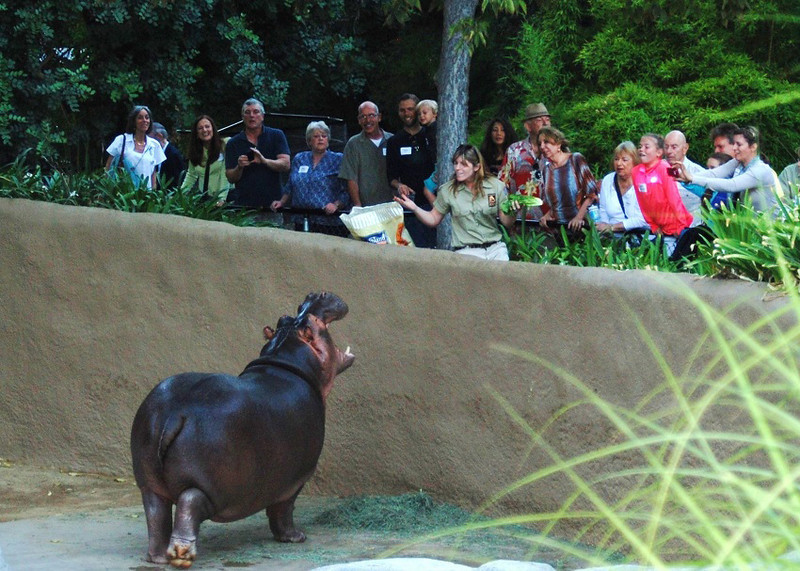 . Guests at the Greater Los Angeles Zoo Association\'s Sunset Safari view a feeding of the Zoo\'s hippo. (Photo by Michaelyn Straub for the Daily News)