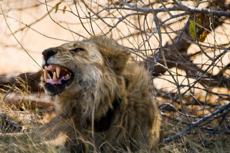 lion (17).jpg