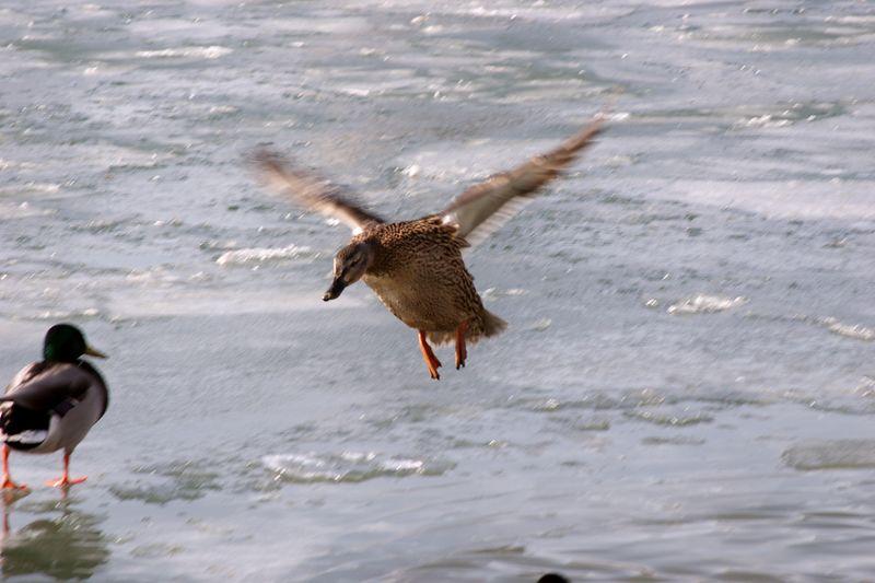 Mallard Duck Coming In