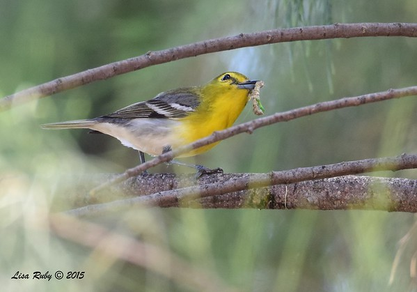 Bird and Butterfly Garden - Yellow-throated Vireo - 6/21/2015