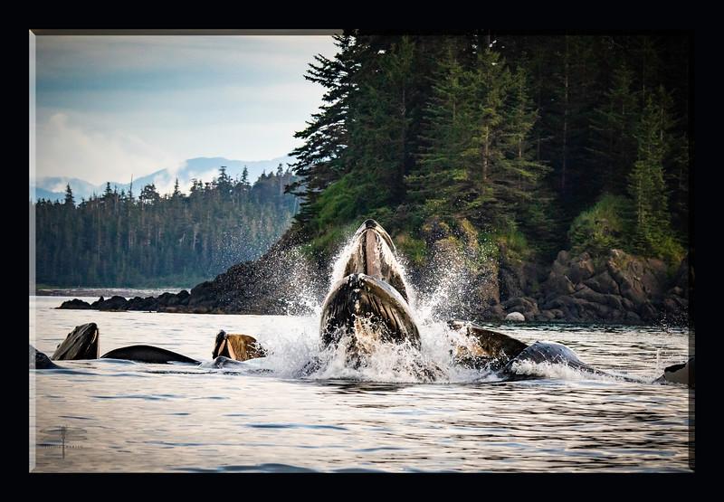 Whales_eating_Juneau_Alaska_cpp_664A7220.jpg