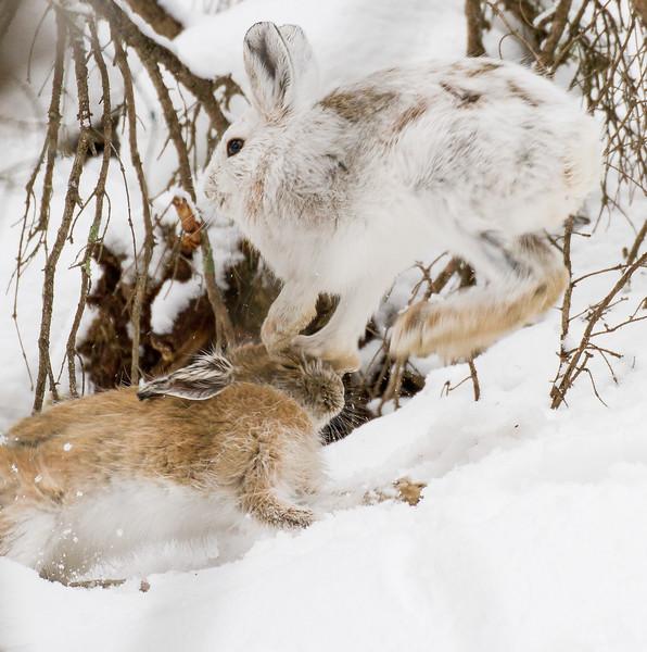 Snowshoe Hare Warren Nelson Memorial Bog Sax-Zim Bog MNIMG_0725.jpg
