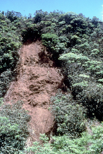 Miconia has a shallow root system; when it grows in steep, wet places, landslides are an increasing phenomenon, as here in Tahiti in 1989.  (photoID: bhg000310)