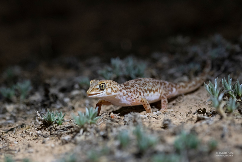 Gibber Gecko, Deniliquin, NSW, Australia Oct 2018-1.jpg