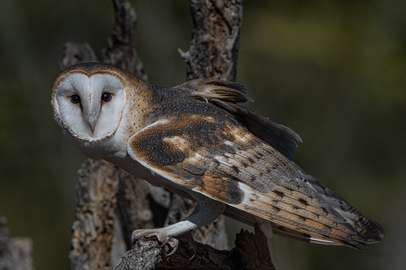 Barn Owl posing on branch