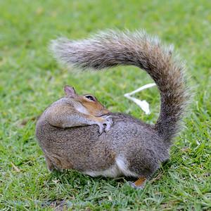 Kaapse grondeekhoorn; African ground squirrel; Cape ground squirrel; Xerus inauris; Waaierstertmeerkat; Écureuil de terre du Cap; KapBorstenhörnchen
