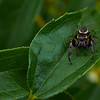 Jumping Spider on the Prowl