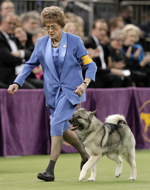 . Duffy, a Norwegian elkhound, takes a lap around the ring with her handler during the Best in Show competition at the 141st Westminster Kennel Club Dog Show, Tuesday, Feb. 14, 2017, in New York. (AP Photo/Julie Jacobson)