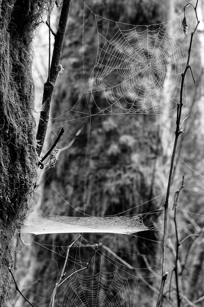 14 Jan 15.  Another spider web for today but very much unlike what I shared yesterday. As our mornings continue to be nicely foggy, I've been going out early to see what is available and today I noticed a spider web unlike any I've seen before. It was positioned horizontally in the air attached to two trees, a very thin new growth and a limb of a second or third growth. As I set up the camera and tried to focus it became obvious that auto focus just wasn't doing the job. I didn't realize how poorly it was doing its job until I switched to manual focus and realized that there were actually three webs present with the three making for an entirely different picture. This was my first time ever to encounter a spider who had created a high wire act along with safety net, and a lower act below it. Kinda clever was what ran through my mind. Zoom in to observe the construction of the safety net. The front left of the web is higher than the rest and as a result is whiter as you are looking through two layers at that point.  Base image was adjusted to encompass the full tonal range, then a B&W plugin - Silver Efex Pro 2 - was used to convert to B&W. That was the entirety of the adjustment for today. With the light levels, very slight wind air currents, and need for depth in the webs, I had to go with a lot of trade offs. Hope to have another go at it tomorrow.  Nikon D300s; 18 - 200; Aperture Priority; ISO 640 (not much light this morning); 1/3 sec @f /18.