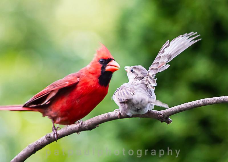 A Cardinal Bullying a Female Sparrow