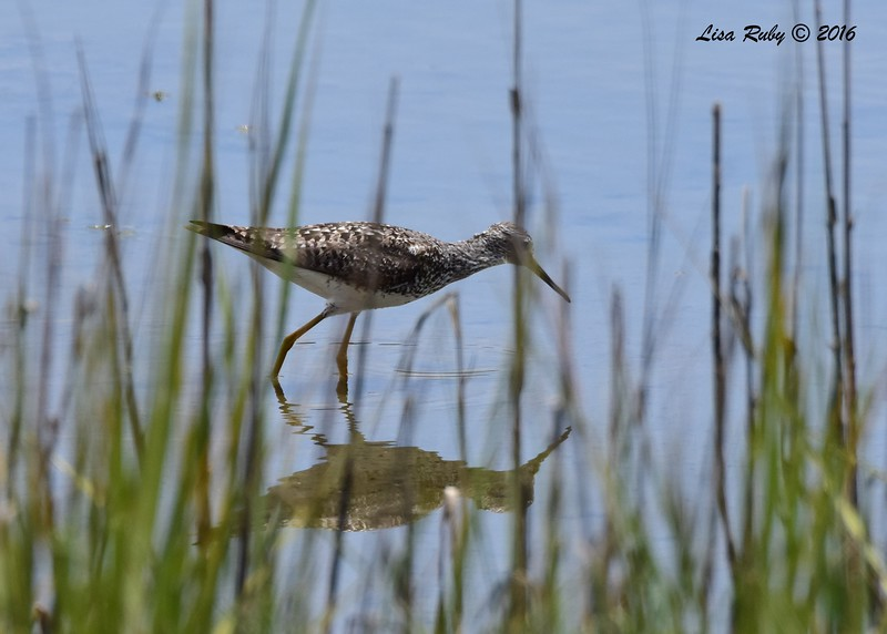 Lesser Yellowlegs - 7/17/2018 - Famosa Slough
