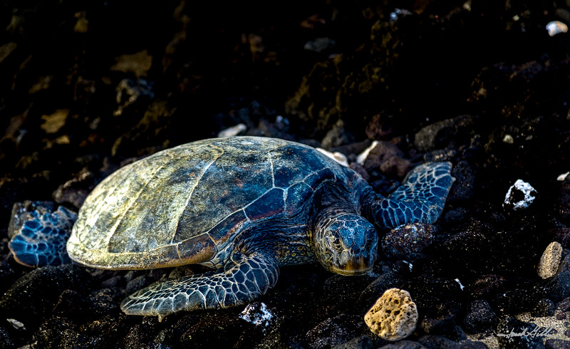 Green Sea Turtle on shore for the night