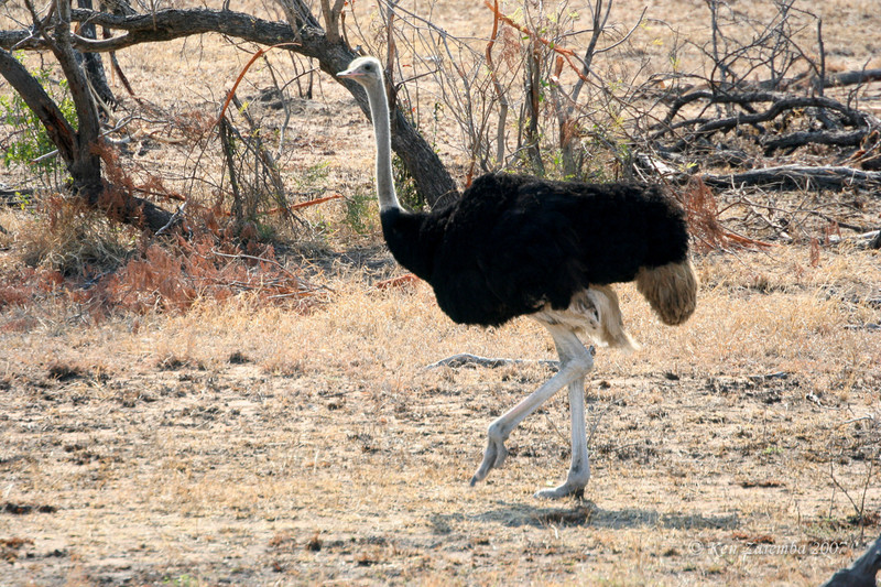Male Common Ostrich, Mala Mala Game Reserve, South Africa