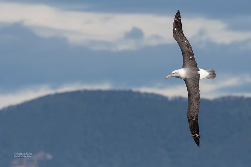 Shy Albatross, Eaglehawk Neck Pelagic, TAS, Dec 2019-3.jpg