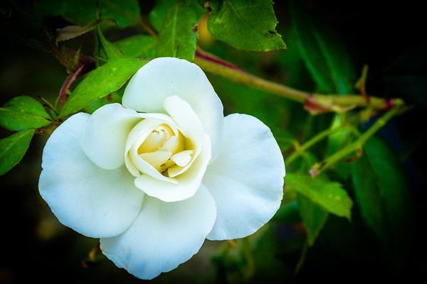 Standard Rose ~ December