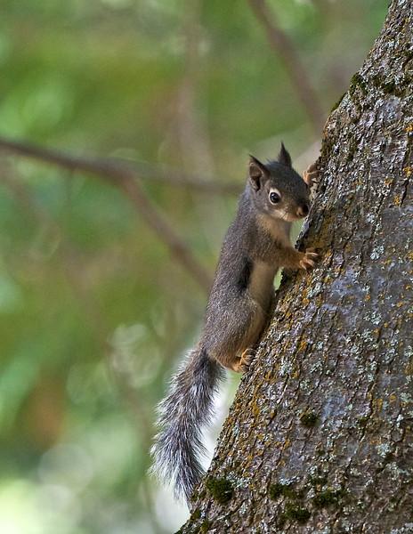 California Gray Squirrel, Kings Canyon National Park, California