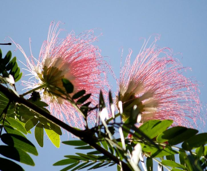 pink silk tree