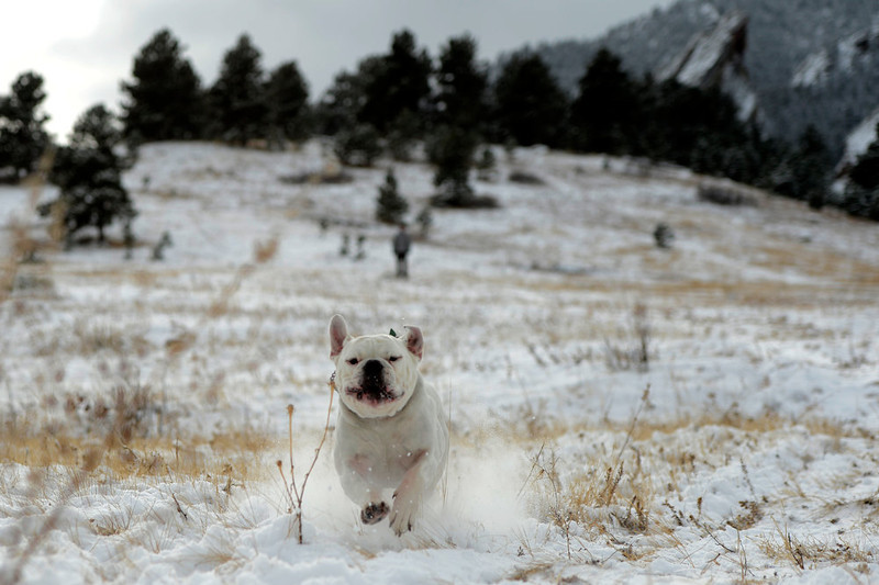 . Moses  tears through the snow during hid first outing in the white stuff with his owner Keenan Emmitt in front of the slabs at Chautauqua Park in Boulder Colorado, Wednesday, December 19,  2012.    Joe Amon, The Denver Post