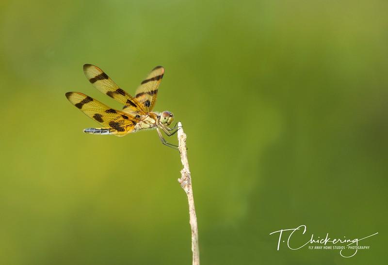 Dragonfly Thirty Three-1505696723528.jpg