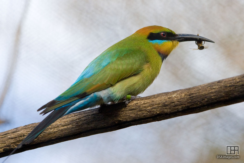 Bee-eater eating Bee