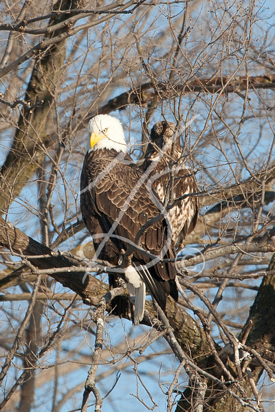 Eagles in Beloit 2-12-11