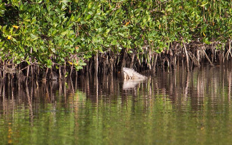 iguana in the water-2.jpg