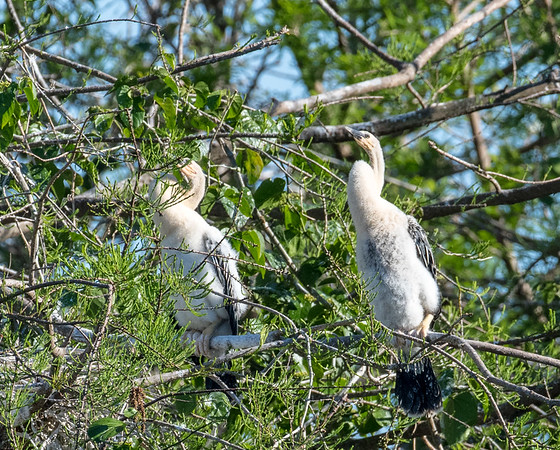 Young Anhingas following the sun