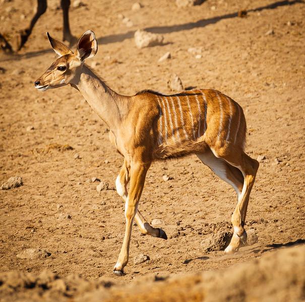 Kudu calf alarm 1