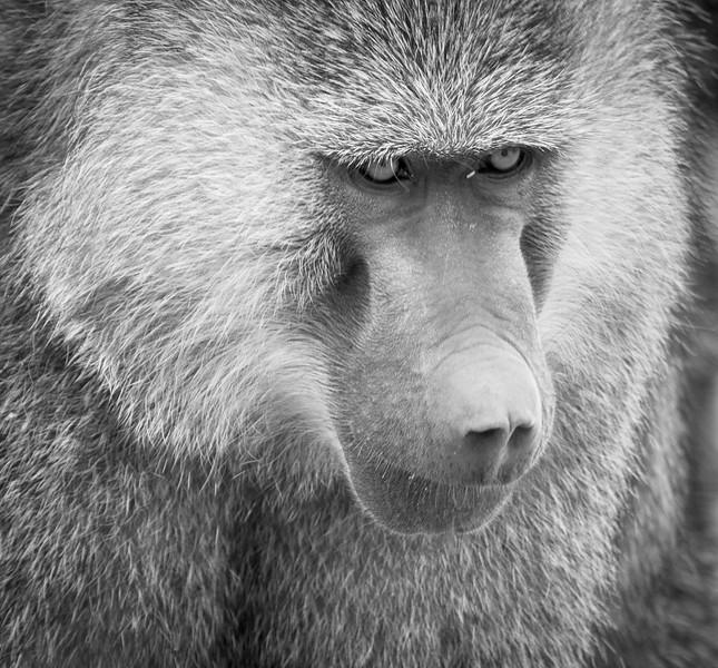 Grizzled Baboon alpha male, Tarangire National Park