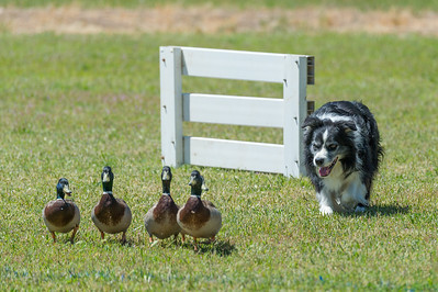 B Ducks