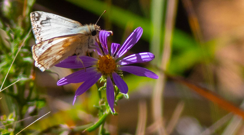 Northern White-Skipper
