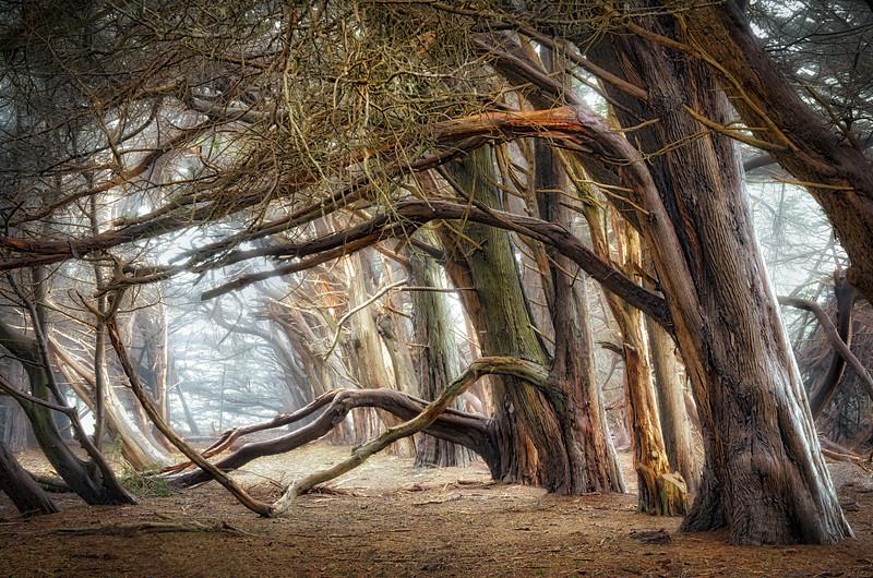 Spanning Cypress, Study 3, Sea Ranch, California