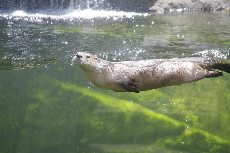 RIVER.OTTERS.Zoo.SW070.JPG