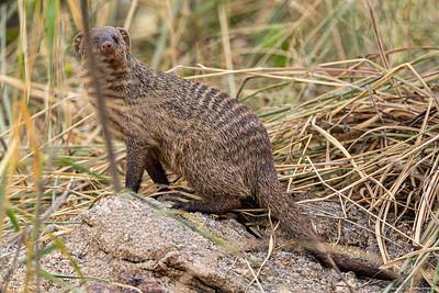Sebramungo (Banded Mongoose)