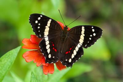 Nov. 23, 2014 - Costa Rica Butterflies