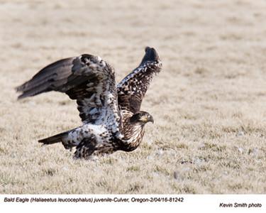 Bald Eagle J81242psd.jpg