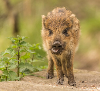 Wild Boar - Set 9