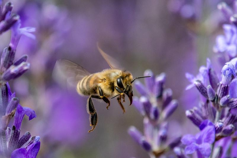 Lavender-6348.jpg