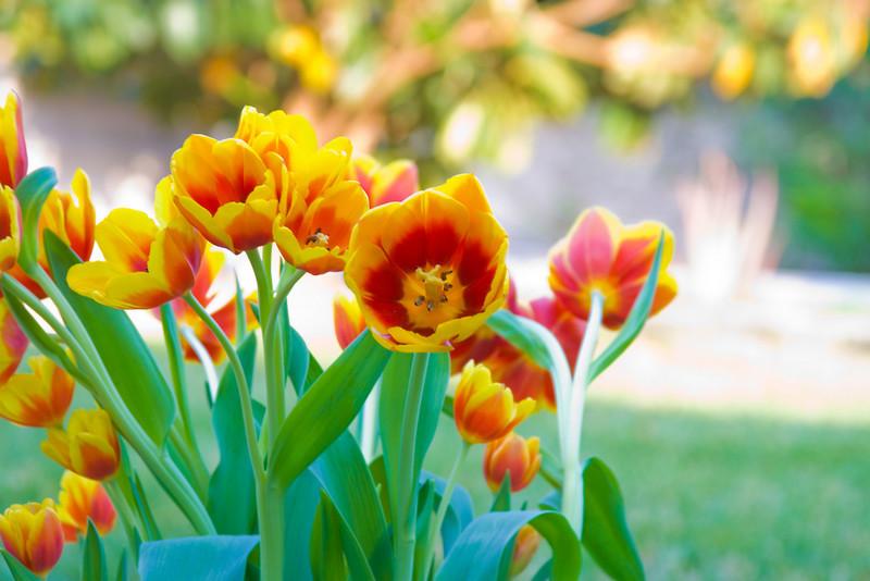 Tulips outdoor_15.jpg