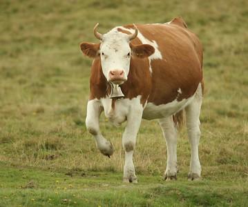 Gstaad Bulls