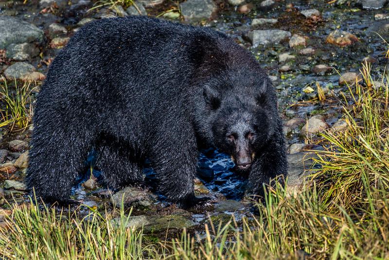 DSC 9461 black bear.jpg