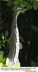 Bare-throated Tiger-Heron A59236.jpg