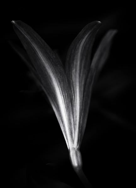 miniature amaryllis-.jpg